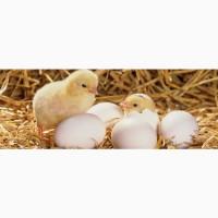 Продам інкубаційне яйце бройлера КОББ 500 та мясояєчних порід курей