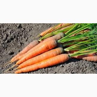 Продам морковь оптом от производителя. Есть объем. Нал/безнал