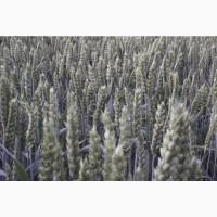 Семена мягкой озимой пшеницы Маттус, Гранус, Ленокс и др. - 1реп. (двуручки)