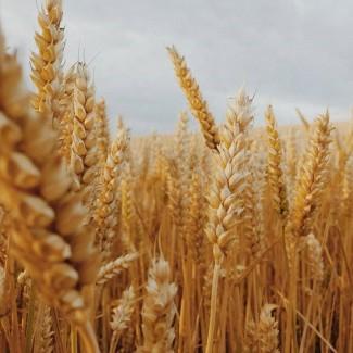 Продам посевной материал озимой пшеницы Антонина элита Краснодарская селекция