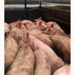 Продажа свиней живым весом (некондиция)