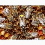 Матка КАРПАТКА, КАРНІКА 2021 ПЛІДНІ БДЖОЛОМАТКИ ( Пчеломатки, бджолині матки )