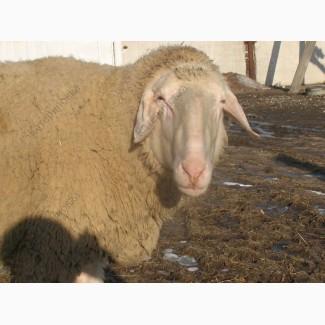 Продам племенных овцематок. Немецкий мериноланд