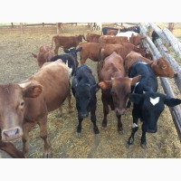 Экспорт крупного рогатого скота (быки, нетели, телки)