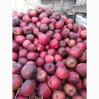 Продаю яблука опт