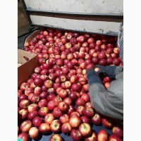 Продам яблука ризных сортив з холодыльныка газовани в наявности багато сортив