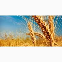 Закупаем Пшеницу Днепр обл