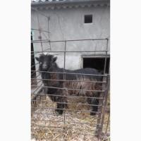 Продам молодого козла Альпійської породи
