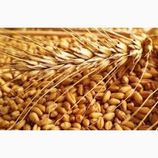 Продам посевной материал озимой пшеницы Баграт суперэлита Краснодарская селекция