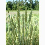 Озимая пшеница, озимый ячмень купить в Харькове