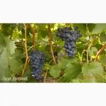 Продаю черенки і саджанці кращих сортів винограду(КМ-Велис, КМ Русбол, Лора та інші)