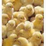 Продам циплят: бройлери КОББ-500, РОСС-708, мясояєчні породи. Каченята, гусенята, індики