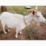 Продам козу полузааненской породы и семеро козлят