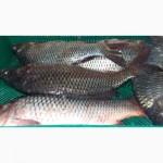 Речной карп оптом, речная рыба в ассортименте опт и на экспорт