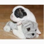 Французского бульдога роскошные щенки