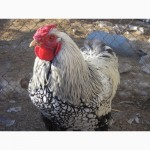Продам цыплят, инкуб. яйця