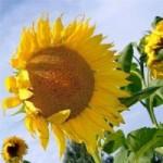 Продам семена подсолнечника Нео, под гранстар