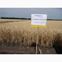 Пшеница озимая - Сорт Мудрость Одесская - экстра сильная пшеница