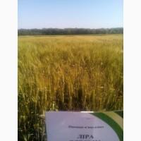 Пшеница озимая Лира Одесская короткостебельного типа, репродукция R2 (перед суперэлитой)