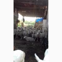 Продам овци
