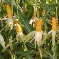 Кукурудза вакула (фао 250) / високоврожайний гібрид кукурудзи