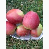 Продаем яблука : Прiам -4грн