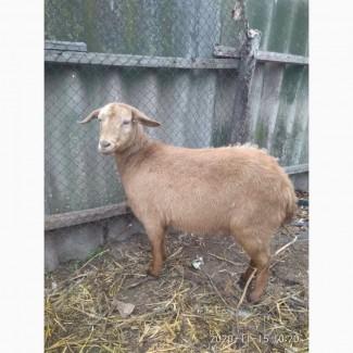 Продам козла и козочку Альпийской породы