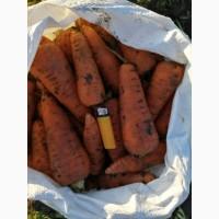 Продам морковь, сорт Абако