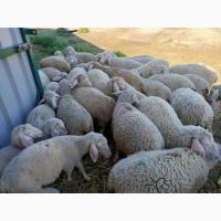Продам баранов (4-6мес.) Мясная порода! Мериноландшаф. Житомир. От 10шт -100грн/кг