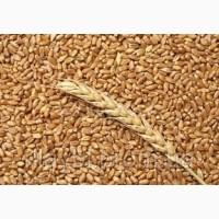 Продам посевной материал озимой пшеницы Антонина (суперэлита) Краснодарская селекция
