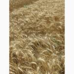Семена пшеницы озимой - сорт Ермак. 1 репродукция