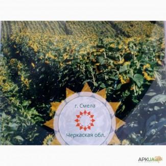 Гибрид подсолнечника, Аракар, Заклык, Фрагмент, Лимит, Посевмат, семена подсолнуха