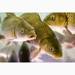 Живая товарная рыба карп амур толстолоб от производителя ПАО Черниговрыбхоз г. Чернигов