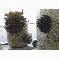 Мицелий грибов вешенки (Штамм К-12)