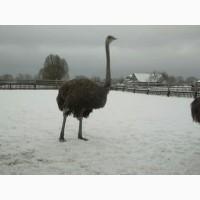 Продам страуси