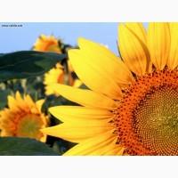 Бонд насіння соняшнику під гранстар 25 г/га