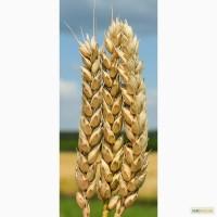 Семена озимой пшеницы Богдана, 287-300 дней, урожайность 98, 2 ц/га