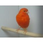 Предлагаем певчих и декоративных птиц из питомника SANAFELS