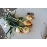 Семена озимого лука сорта Эллан и Зимовей, отавторов ипроизводителей.