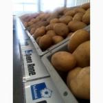Нідерланди! Продаю Насіннєву картоплю. Якість-ціна! / Семенной картофель