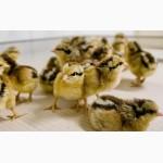 Продам курчат мясояєчних порід 14 порід
