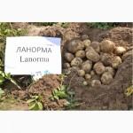 Продаю Качественный семенной картофель Отличные вкусовые качества / картопля