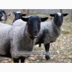 Продам овец романовской породы в живом весе или мясом. Цена договорная