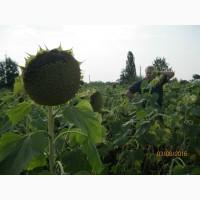 Гібрид соняшнику ШТ-9093, Штрубе (Strube), адаптований до несприятливих умов вирощування
