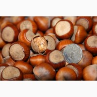 Продам орех Фундук Трапезунд отводки 2 х летки 80 гр