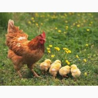 Реализация инкубационных яиц с гарантией кур Ломан Вайт и Ломан Браун