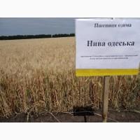 Семена озимой пшеницы Нива Одесская Высокоурожайный сорт высокой кустистости