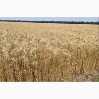 Щедрость Одесская семена пшеницы озимой полукарликового типа, R2