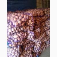 Продам домашний картофель сорта Скарб и Беларосса
