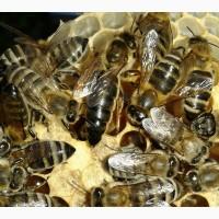Продам Бджолопакети Карпатської породи, (торг возможен) Плодні Пчеломатки карпатки